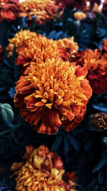 Marigold flower. Upped my camera. Flower Fragility Close-up Beauty In Nature Nature Flower Head Orange Color Outdoors Vibrant Color Photoart Epic Shot Photography Follow4follow Followplease Followme Tranquility No People Plant Life Flower Collection Flowers, Nature And Beauty Flower Photography Fountain,Co My Year My View