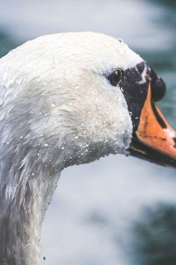 Water Drops Animal Animal Themes Vertebrate Animals In The Wild Animal Wildlife Bird One Animal White Color Swan