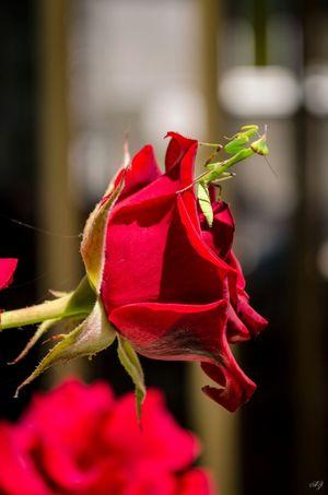Flower Rose🌹 Nature Beauty Beautiful Nature
