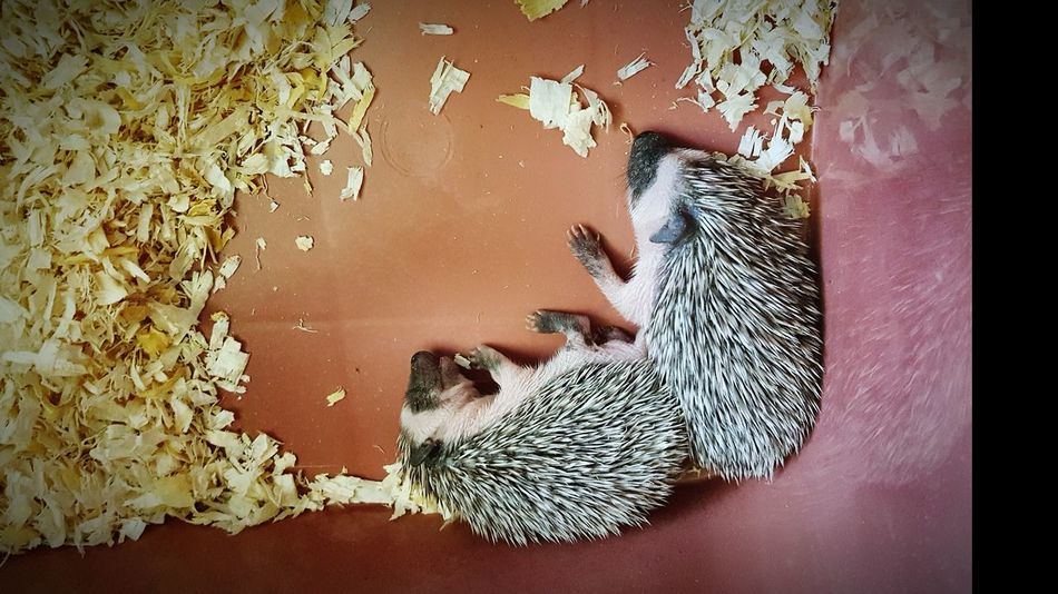 Hedgehog baby Animal Themes High Angle View Human Body Part Low Section Leopard Mammal Close-up Day Indoors  Animal Wildlife One Animal One Person People Pets Nature Hristmas Hat Prickly Pear Cactus Growth First Eyeem Photo Saguaro Cactus Low Angle View Outdoors Indoors  Indoors  Beauty In Nature