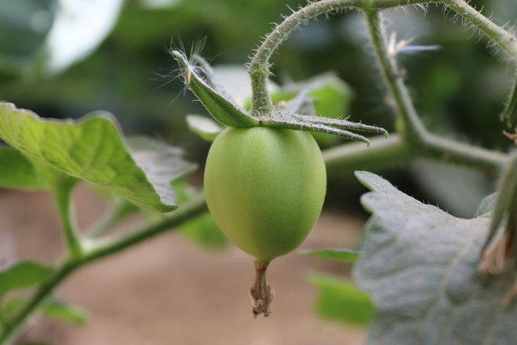 Green tomato in Siwa Growth Food Fruit Plant Food And Drink Green Color Healthy Eating Freshness Leaf Close-up Plant Part Nature Focus On Foreground No People Day Beauty In Nature Agriculture Tree Outdoors Wellbeing Ripe Tomato Tomatoes Tomato Plant Siwa Oasis