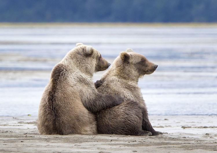 Two cute bear cubs