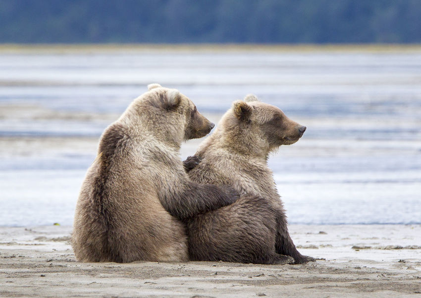 Bear sisters caring Animal Themes Animal Wildlife Animals In The Wild Bear Bear Care Day Grizzly Bear Mammal Nature No People Outdoors Relaxing Representing Sisters Togetherness Water
