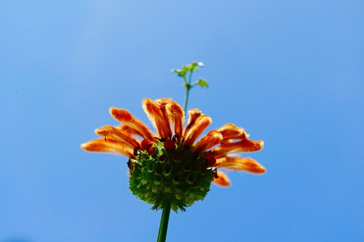 Lion's Ear Leonotis Leonurus Botany Plant Blue Growth Beauty In Nature Flower Flowering Plant Nature Fragility Vulnerability  Close-up No People Copy Space Orange Color Flower Head Inflorescence Low Angle View Outdoors Petal Sky Freshness