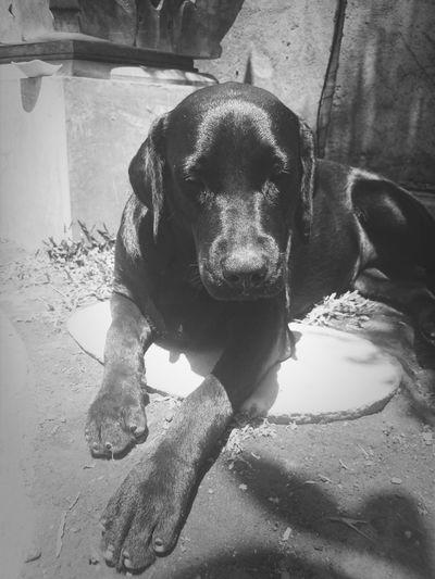 sunbathing Ilovemydog Dog Labrador Bali