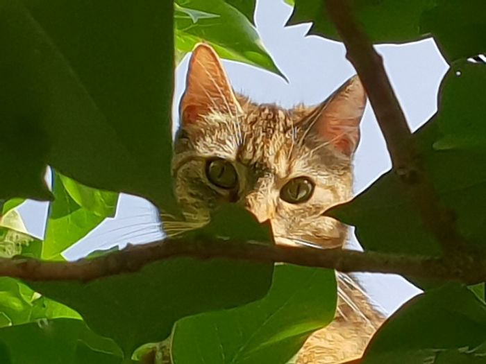 Cat peeking through leafs Tree Cat Young Cat Cat Climbing Cat Climbing A Tree Feline Leaf Portrait Environmental Conservation Close-up