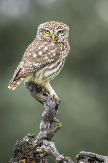 Athene Noctua Animal Animal Eye Animal Themes Animal Wildlife Animals In The Wild Bird Bird Of Prey Branch Day Focus On Foreground Full Length Little Owl Looking At Camera Nature No People One Animal Outdoors Owl Perching Plant Tree Vertebrate