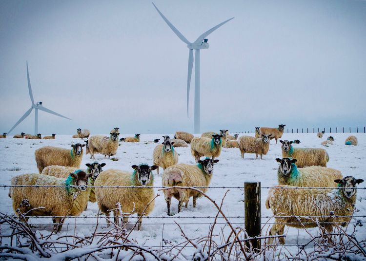 Sheep standing on snow covered field against sky