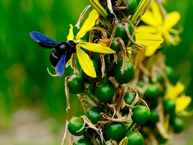 carpenter bee Carpenterbee On Flower Insect Animals In The Wild Invertebrate Animal Themes Animal Animal Wildlife Plant Flower Close-up Bee The Great Outdoors - 2018 EyeEm Awards