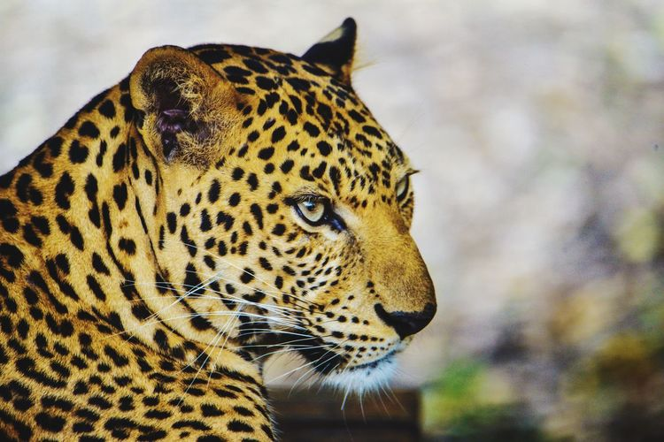leopard One Animal Animal Themes Animal Big Cat Animal Wildlife Feline Leopard Animals In The Wild Vertebrate Cat Mammal Focus On Foreground Animal Markings No People Close-up Looking Away Carnivora Animal Body Part Spotted Looking