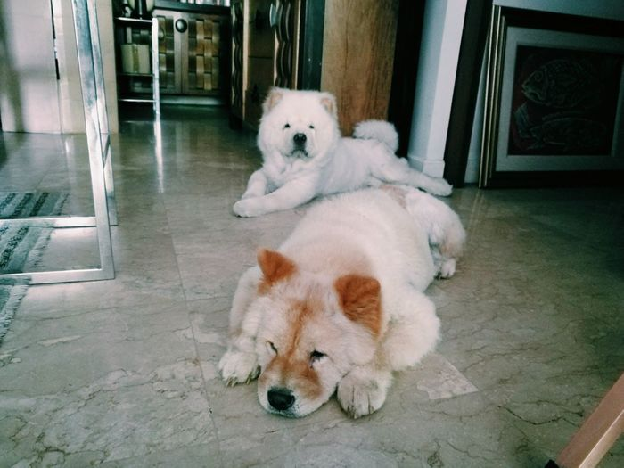 Animal Themes Mammal Domestic Animals Pets Sitting Dog No People Portrait Day Indoors  ChowChow Bored Sleepy Sleepy Dog Cute Dogs Two Dogs Dogs Resting