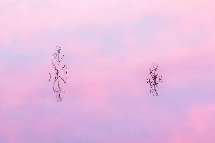 Low angle view of pink plant against sky during sunset