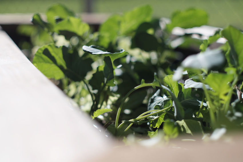 Close-up Day Food Freshness Garden Green Color Growth Indoors  Leaf Nature No People Plant Selective Focus Vegetables