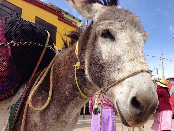 Domestic Animals Donkey
