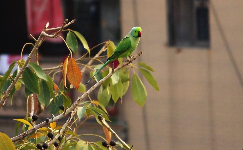 Indian parrot Wildlife & Nature Wildlife India Canon Gauravsphotography Animals In The Wild Animal Focus On Foreground Nature Leaf Day Tree Parrot No People