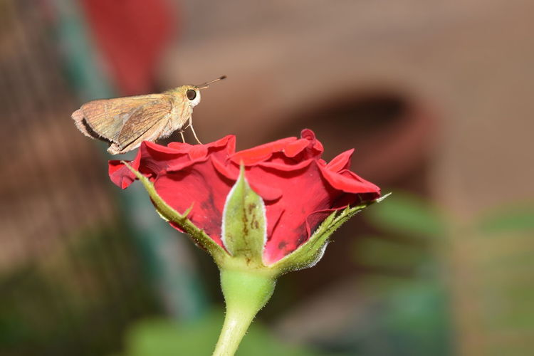 Red rose loved by Moth Nature Fragility Rose🌹 Rose Flower Rose♥ Moth Moth Insect Close-up Outdoors Nikonphotographer Getty+EyeEm Collection Eyeem Market Nikonphotography Eyeem Collection Eyeem4photography Getty Image-collection Eyeem Photography EyeEm Masterclass Eyeemphotography Flower Head Nikon Garden Photography Red Rose 🌹 EyeEm Gallery Macro Photography