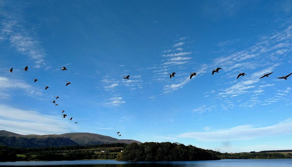 Birds Blue Sky Clackmannanshire Flock Of Birds Flying Gartmorn Dam Country Park Geese Geese In Flight Lake Migrating Mountain Nature Reserve Ochil Hills Sauchie Scotland