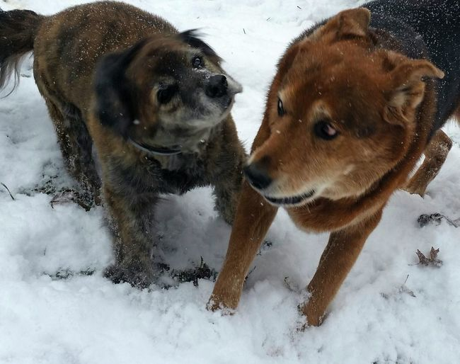 Dogs Playing In The Snow Dogs Snow Cold Day Winter Ohio, USA