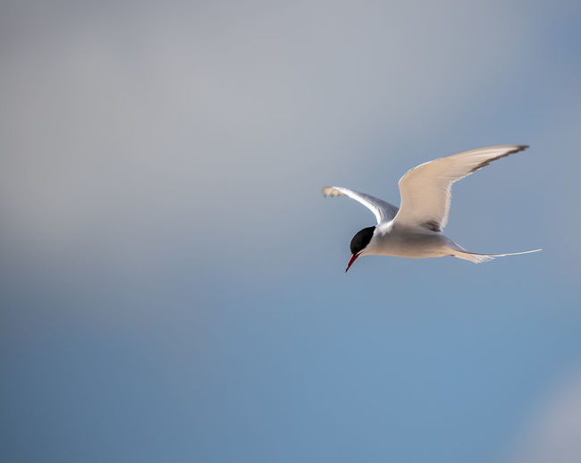 Common Tern in
