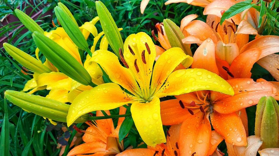High angle view of yellow lilies on plant