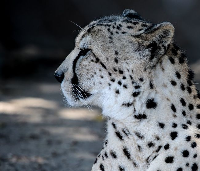 One Animal Animal Themes Animal Close-up Focus On Foreground No People Animal Wildlife Animals In The Wild Animal Body Part Mammal Day Big Cat Animal Head  Spotted Nature Animal Markings Vertebrate