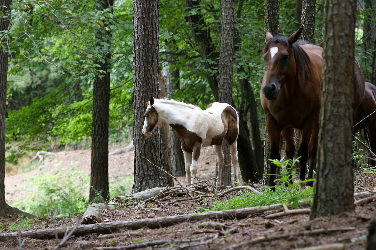 horse, animal themes, domestic animals, tree, two animals, livestock, standing, day, mammal, rural scene, full length, outdoors, no people, togetherness, nature