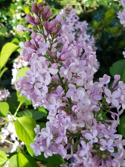 Flower Plant Nature Purple Beauty In Nature Fragility Blossom No People Day Growth Close-up Lilac Flower Head Springtime Outdoors Freshness Lavender Colored The Purist (no Edit, No Filter) Spring 2017