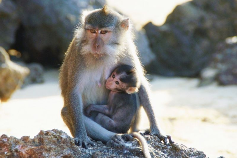 Macaque monkey with baby