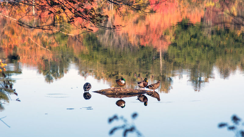 Napping ducks... Autumn Colors Reflection Animal Themes Animals In The Wild Beauty In Nature Bird Day Lake Mallard Duck In Water Nature No People Outdoors Reflection Togetherness Water Water Bird Waterfront EyeEmNewHere