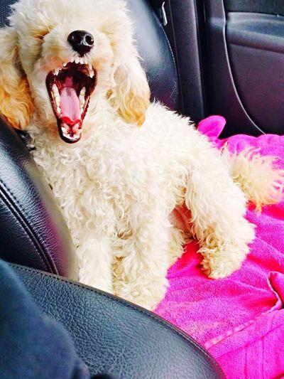 Tired Toypoodle Toypoodles Yawning Dog Dog Dogbaby Sleepy Dog