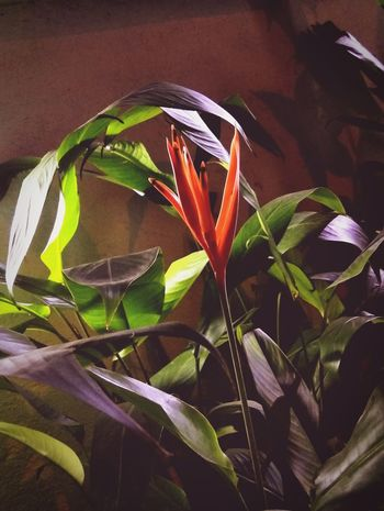 Plant Nature Close-up Beauty In Nature Outdoors Fragility Night Glory First Eyeem Photo EyeEmNewHere Art Is Everywhere Orange Green Dark Midnight Late Night Night Bloom Soft Tulips Tulip Beautiful Flower LeEco Le2 Touching Le2 Le2 Camera