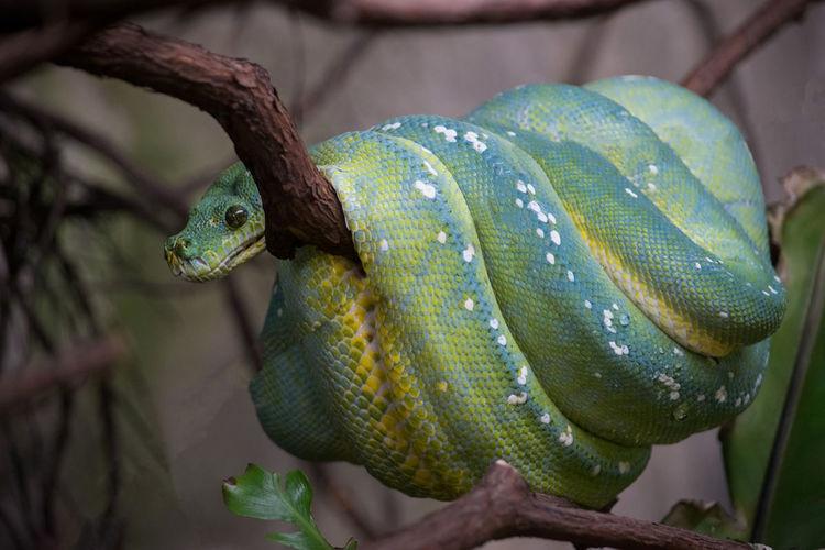 Pitone Acquariodigenova Acquario Di Genova Acquarium Acquario Rettile Reptile Close-up Green Color