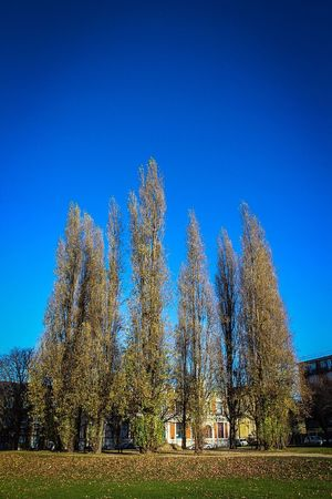 Talltrees Blue Sky Grass Fallen Leaves Clear Sky Tree Blue Architecture Nature Growth No People Built Structure Building Exterior Outdoors Day Beauty In Nature Sky Flats Outdoor Photography London Park Branch Park - Man Made Space Dwellings
