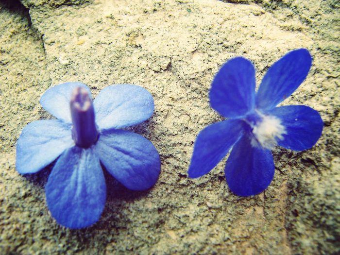 Wild Flowers Nature Blue Flowers Stones