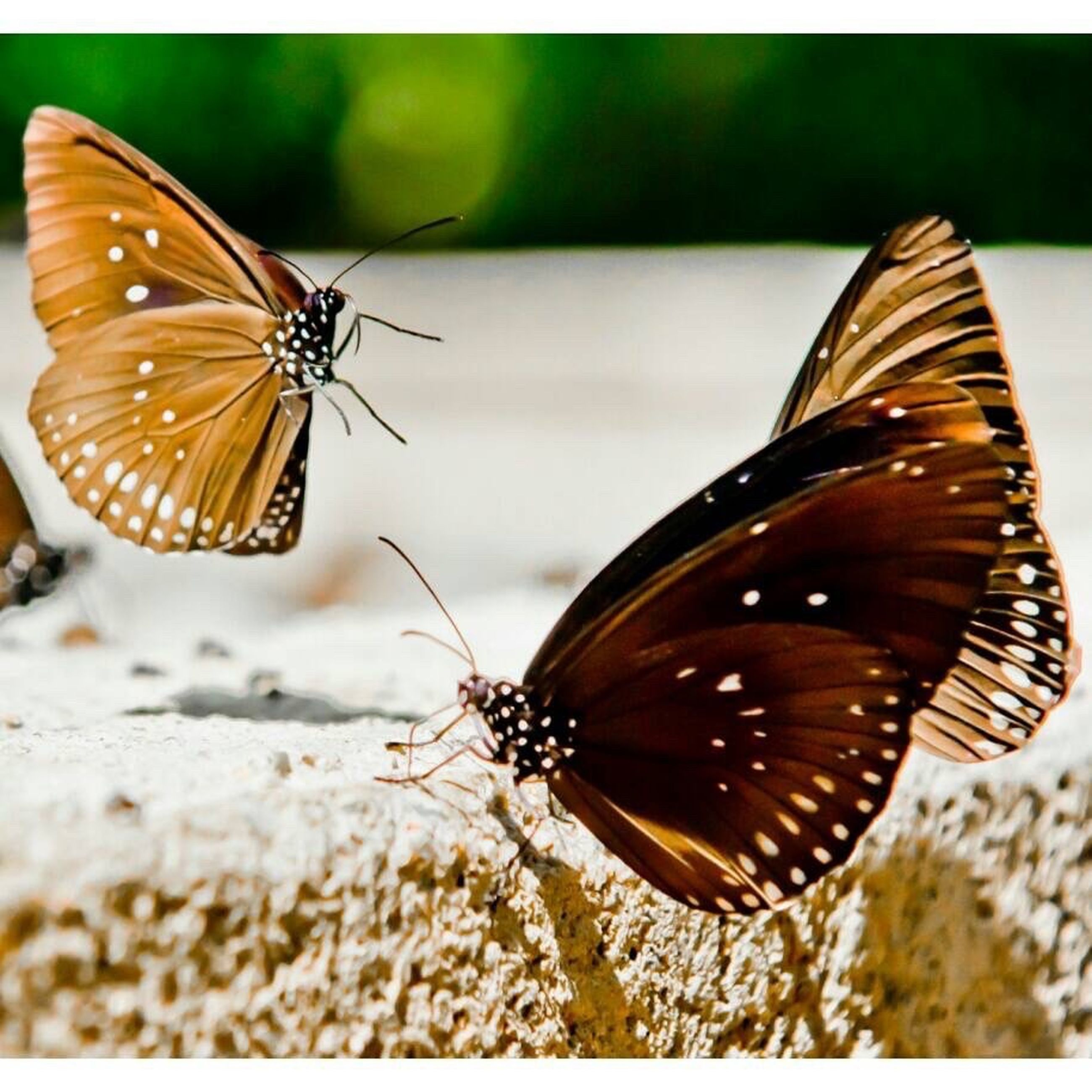 animals in the wild, insect, animal themes, one animal, wildlife, butterfly - insect, butterfly, animal wing, close-up, animal markings, animal antenna, spread wings, focus on foreground, natural pattern, nature, perching, beauty in nature, full length, zoology, pollination