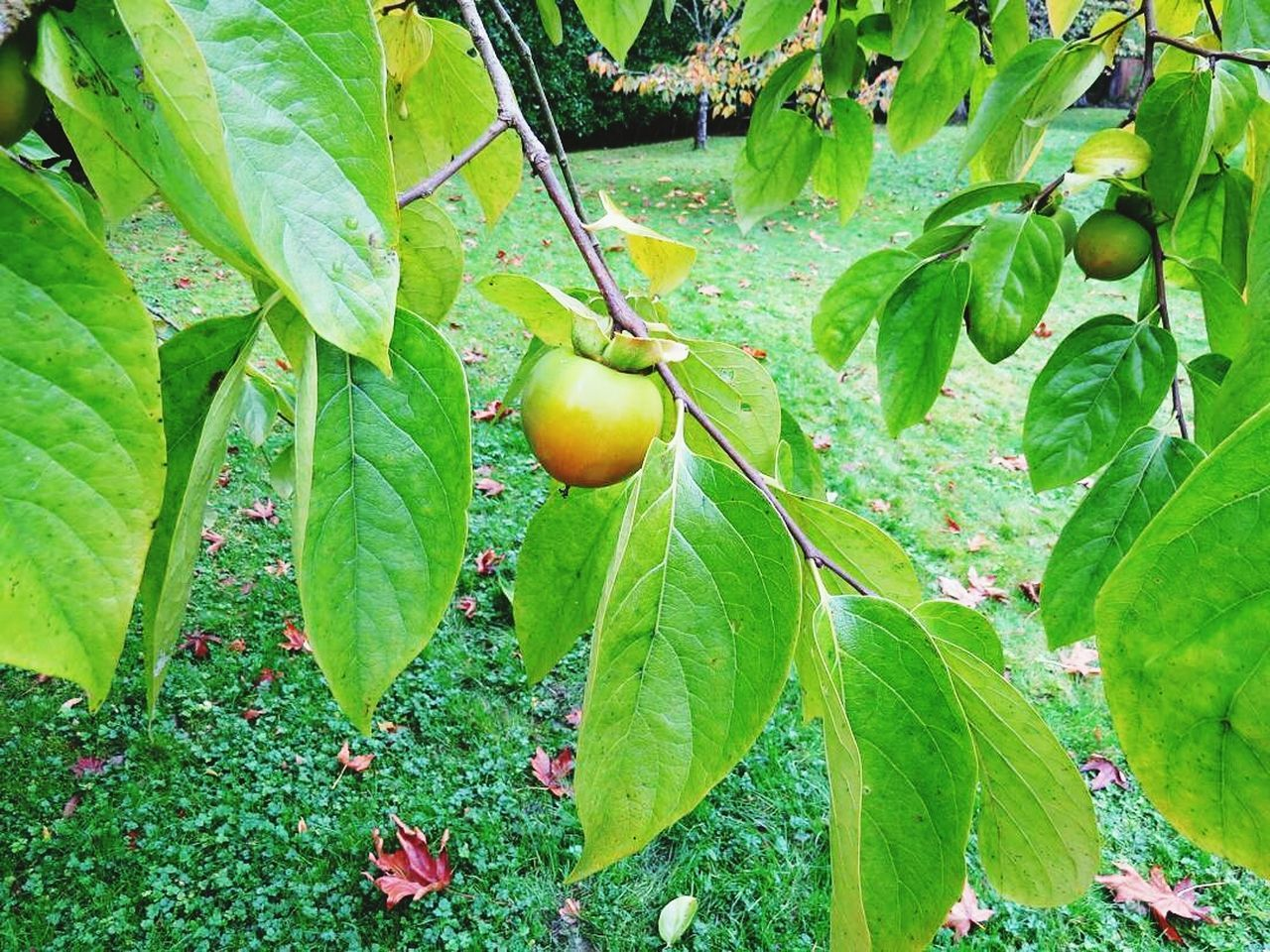 fruit, leaf, growth, food and drink, green color, food, freshness, healthy eating, unripe, day, agriculture, nature, no people, outdoors, tree, close-up, beauty in nature