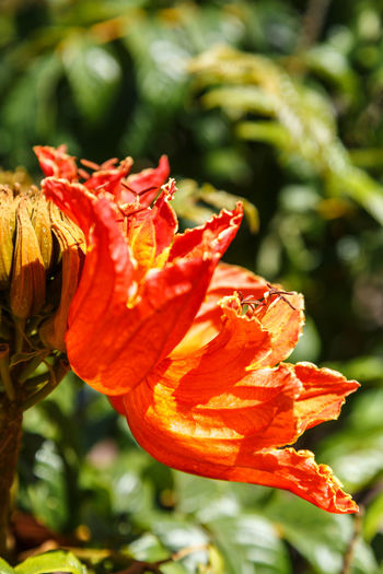 African Tuliptree Spathodea Beauty In Nature Blooming Close-up Day Flower Flower Head Focus On Foreground Fragility Freshness Growth Nature No People Outdoors Petal Plant Red Sunlight Water