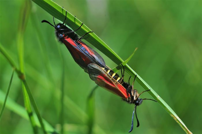 Mating Serbia Animal Themes Animal Wildlife Animals In The Wild Beauty In Nature Close-up Day Focus On Foreground Green Color Insect Leaf Nature No People Plant Red Two Insects