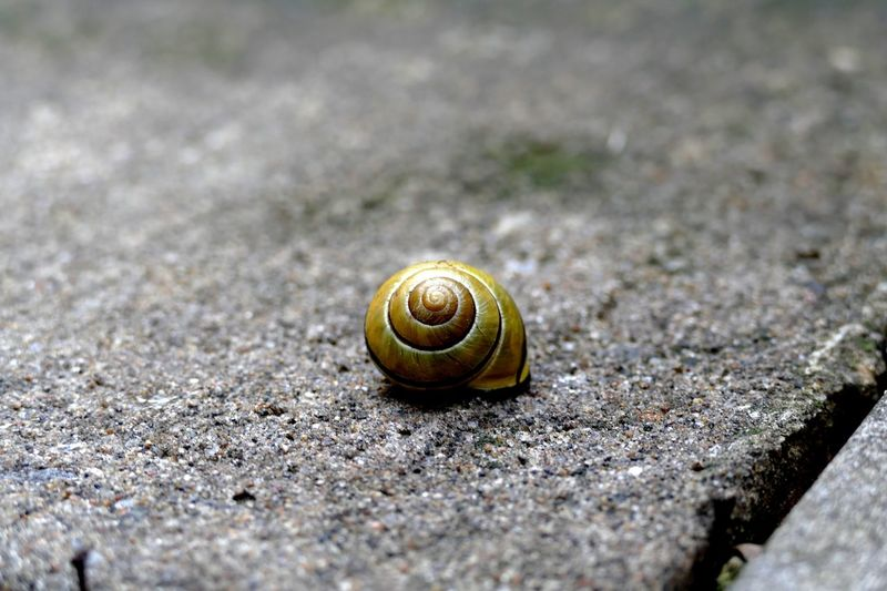 EyeEm Selects Animal Wildlife Animal Animals In The Wild Shell One Animal Animal Themes Gastropod Animal Shell Mollusk Invertebrate Snail Nature Selective Focus Close-up Solid Textured