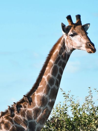 Low angle view of giraffe with birds in jungle against sky