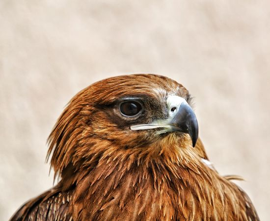 Bird One Animal Animal Themes Bird Of Prey Animals In The Wild Hawk Animal Wildlife Close-up Beak No People Day Nature Outdoors Falcon Falconry Nature Animals In The Wild Dubai