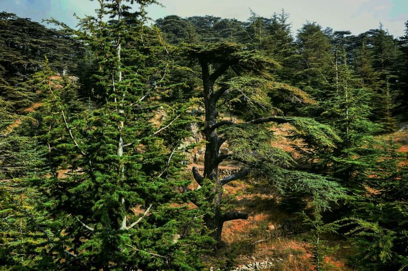 Forest Tree Cedars WoodLand Outdoors Woods