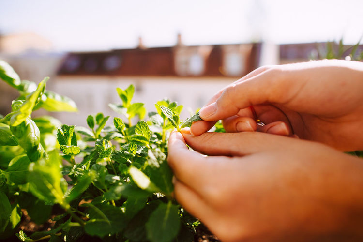 Cropped hands of woman picking mint leaves growing in balcony