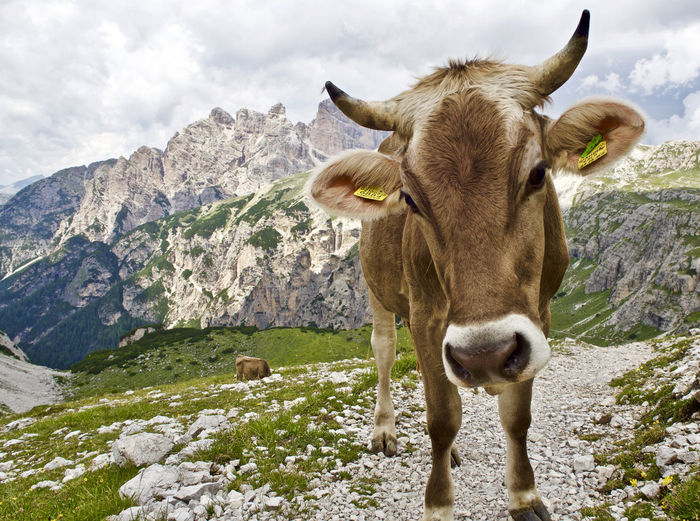 Close-Up Of Cow Standing On Mountain Against Sky