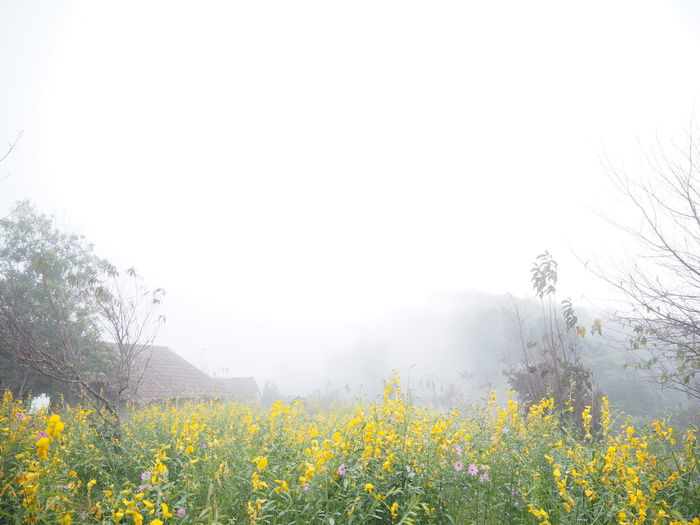 Yellow flowering plants on land against sky