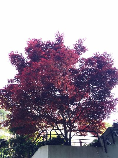 Red Tree Fall