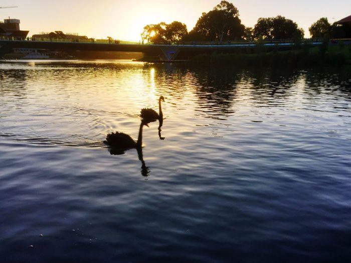 Adelaide, South Australia River Torrens Reflection Swans Sunset Dusk