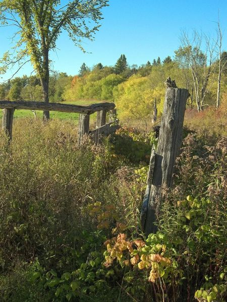 Remnants of the old pioneer farm and homestead. Beauty In Nature Clear Sky Day Days Gone By Field Grass Grown Over Growth Landscape Nature No People Nostalgic Landscape Old Fence Post Old Fence Weathered Old Fences Old Homestead Outdoors Overgrown Plant Rural Rural Scene Sky Tree Wood - Material