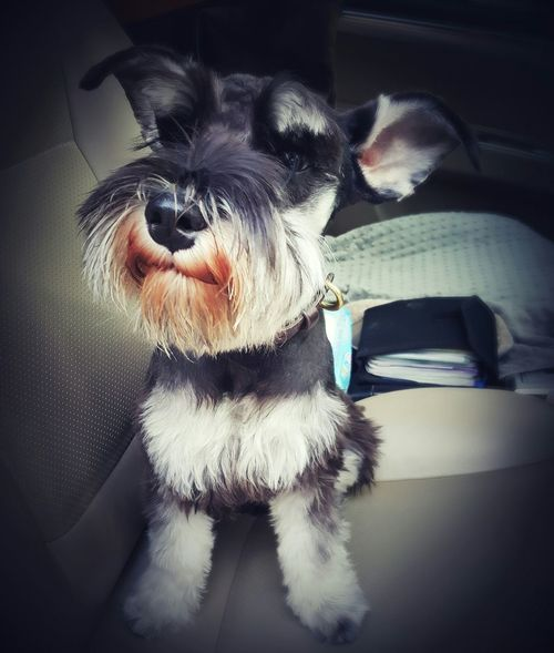 I got a hair cut ! Ready for Friday's Party ! Cute I Love My Dog Baxter Miniature Schnauzer What Makes You Calm Love It