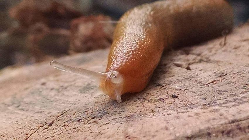 Garden slug close up. Amazing. One Animal Animal Wildlife Animal Brown Animals In The Wild Animal Themes Close-up Nature No People Outdoors Red Slug Day